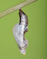 Pupa Transformation of the Gulf Fritillary Butterfly